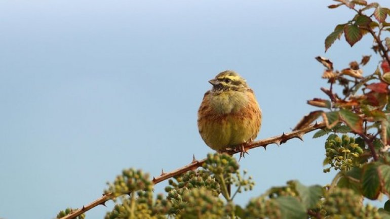 British farmland bird bounces back from brink of extinction