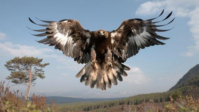 UK golden eagle population soars to new heights