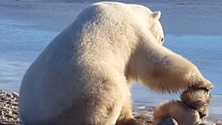 Incredible moment a wild polar bear pets a sled dog in Canada (VIDEO)