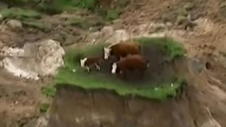 Three cows miraculosly survive New Zealand earthquake