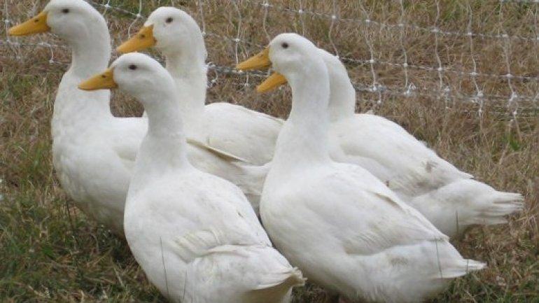190,000 ducks destroyed at six Dutch farms after bird flu outbreak