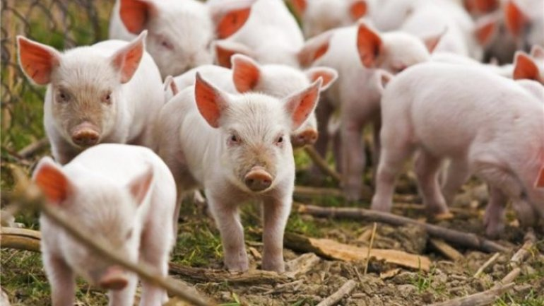 Moldovan authorities make final test to learn if swine fever hotbed is annihilated