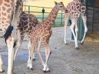 Amazing footage shows baby giraffe dropping two metres to ground during birth (VIDEO)