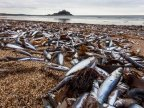 Hundreds of thousands of fish wash up on Cornish beach