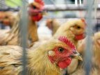 Chinese city to halt live poultry trade on bird flu concerns