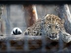 Amur leopard male pays visit to Chisinau zoo female