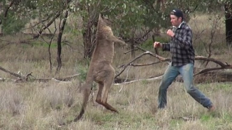 NO COMMENT! Man punches kangaroo in face in order to save his pet