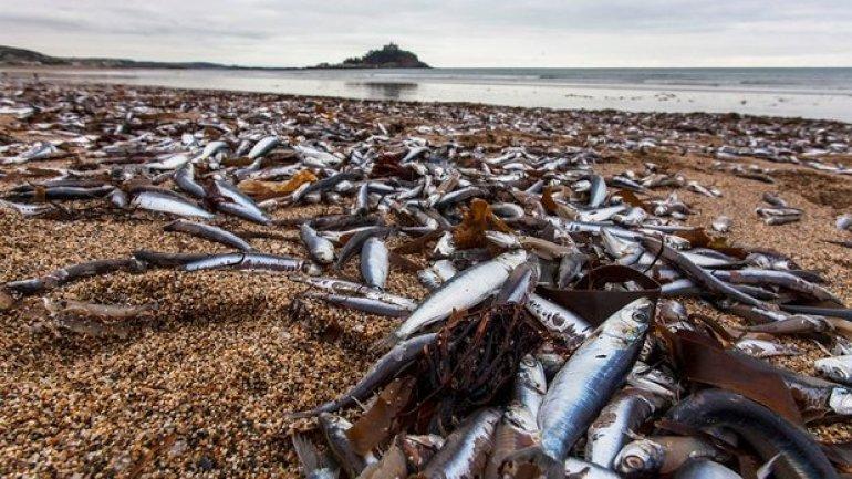 Hundreds of thousands of fish wash up on Cornish beach