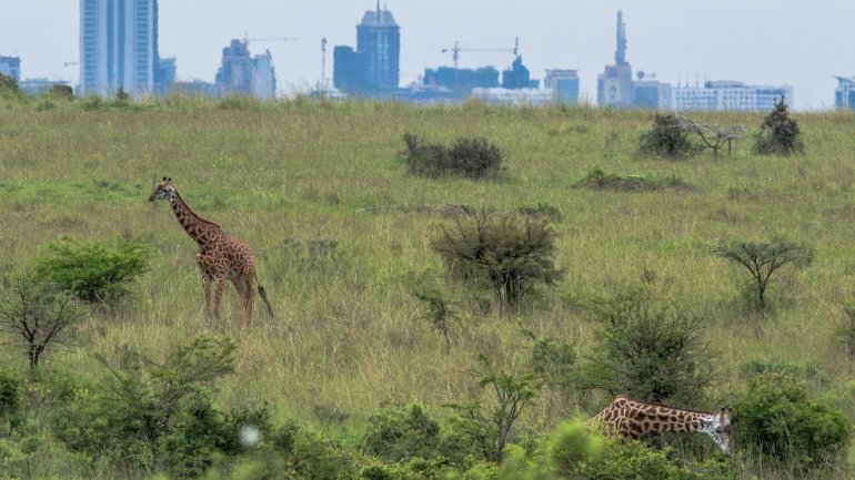 Analysis: Giraffes facing extinction after devastating decline