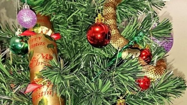 Australian woman finds snake curled up in Christmas tree