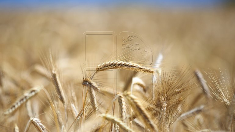 Wheat harvest has increased by 25 percent this year