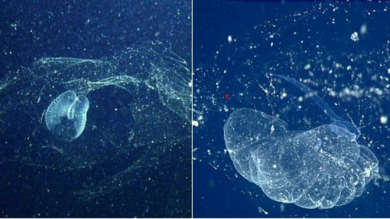 Mysterious ocean blob found for first time in century