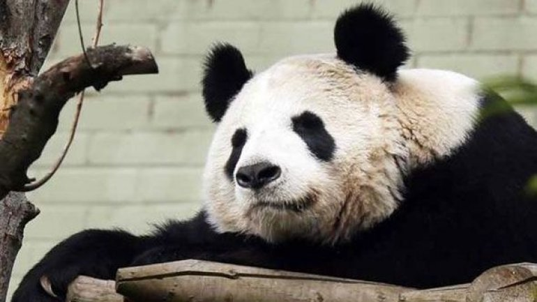 Pan Pan - oldest panda bear in world -- has died
