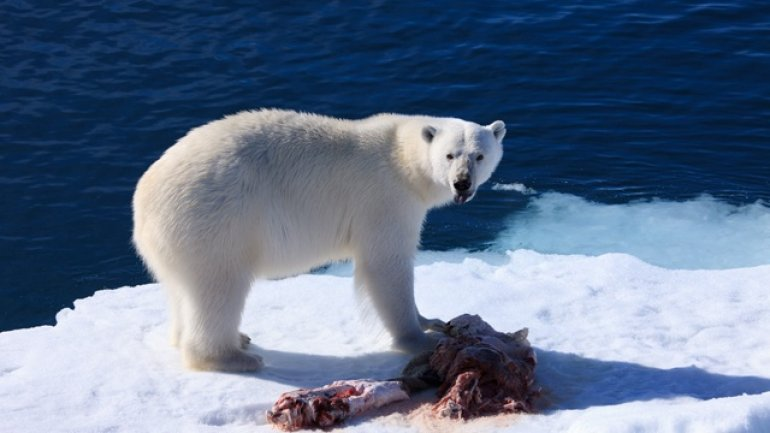1/3 of polar bears will disappear, as global warming melts their ice platforms