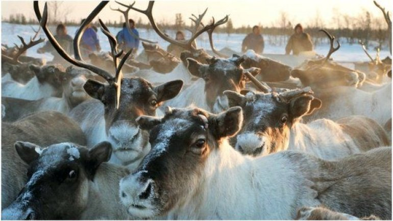 Research: World's largest reindeer herd drops in number