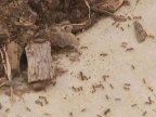 Queensland battles against an invasion of red fire ants (VIDEO)