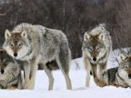 Government of France plans to rise wolf population by nearly 40%
