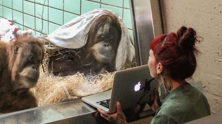 Tinder for orangutans: Dutch zoo to let female choose mate on a tablet
