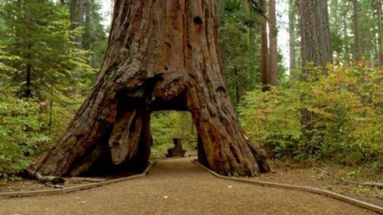Pioneer Cabin Tree in California felled by storms