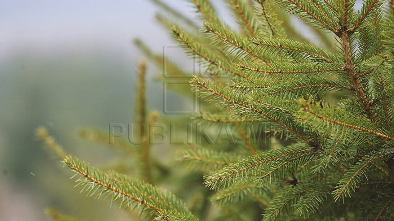 Silvia Radu wishes a Fir alley grown specially for Holiday season in Chisinau