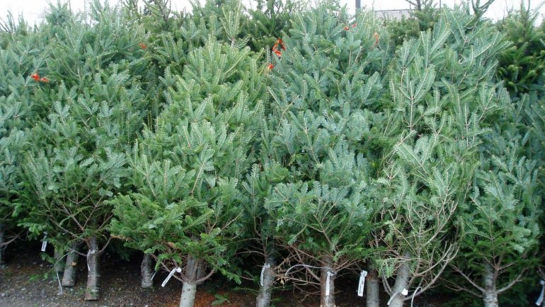 Moldovans urged to collect Christmas trees for recycling