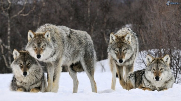 Pack of wolves wreaks havoc in south of Moldova