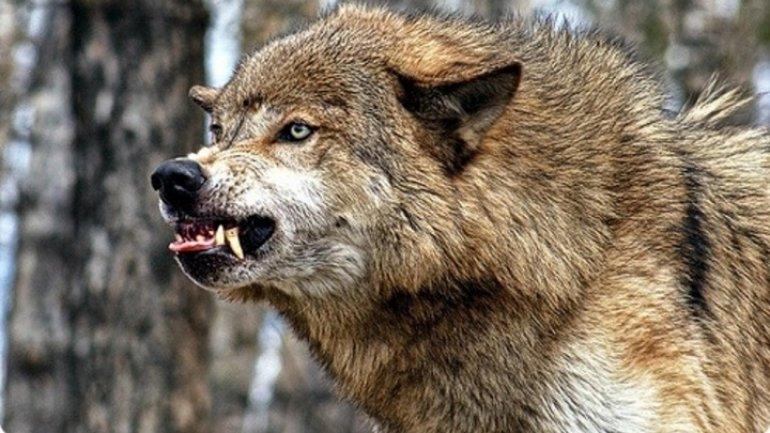 Wolves tear apart dozens of sheep in north of country