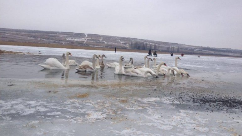 Young people get mobilized on social media to feed guest-swans