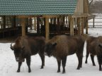 "Animals from ""Padurea Domneasca"" reservation HELPED to get through winter's conditions"