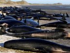 New Zealand whales: Authorities to move 300 carcasses