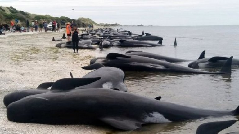 Race to save 100 stranded whales on New Zealand beach (VIDEO)