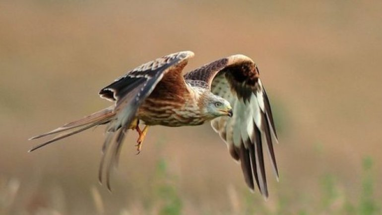RSPB logged 200 reports of crimes against birds of prey in 2015