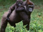 Ebola vaccine shows promise for gorillas and chimps