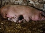 Outbreak of swine fever causes pig breeders to bear extra costs