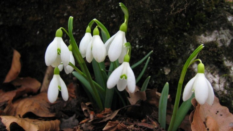 Fines of 2,000 lei imposed for picking and selling snowdrops