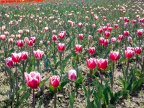 Immerse yourself in the colors of romance at the TULIPS PARADISE in Moldova (PHOTOREPORT)