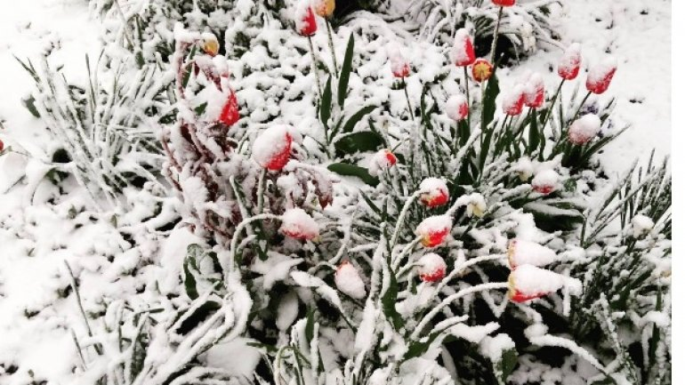 Tulips, spring blooms UNPROTECTED from latest April snow (PHOTO)