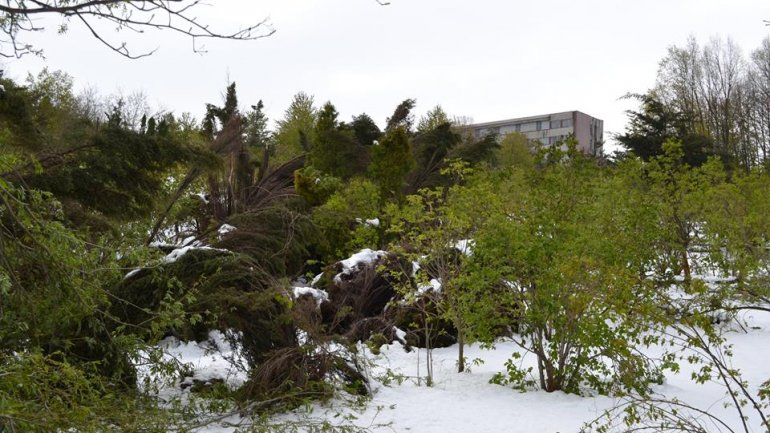 Moldova after blizzard: Fallen trees, frozen flowers and broken branches (PHOTO)