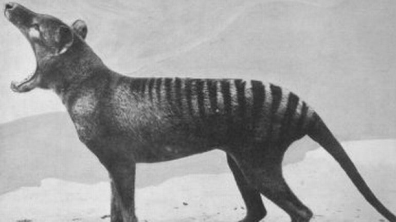 More reports about seeing Tasmanian Tiger in Australia