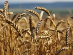 Transnistrian region authorities intend to license grain, oil and technical crop exports