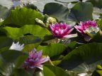 Water lilies, a blooming success in Bardar village (PHOTO)