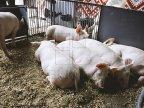 Array of Ukrainian firms get permission to export livestock to Moldova