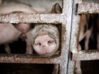 Agriculture Minister of Romania: ANSA's mistake caused 200 pigs to be stuck at customs