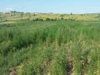 Hemp plantation discovered in Ciocana sector of Chisinau (VIDEO)