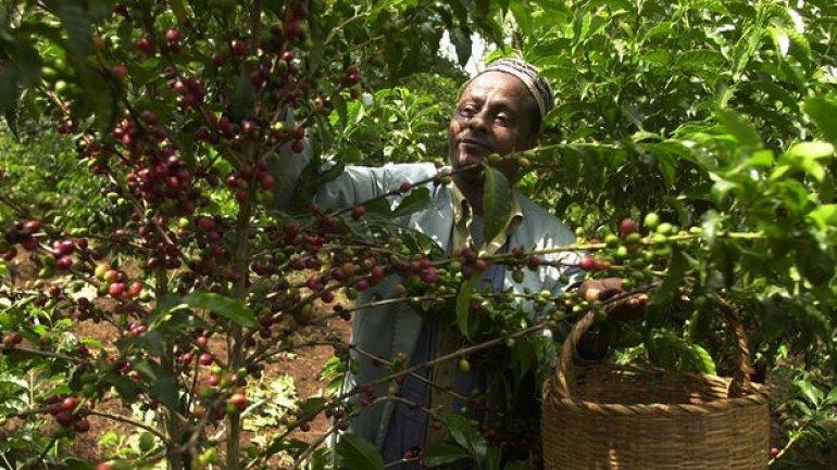 Global warming brews big trouble in coffee birthplace Ethiopia