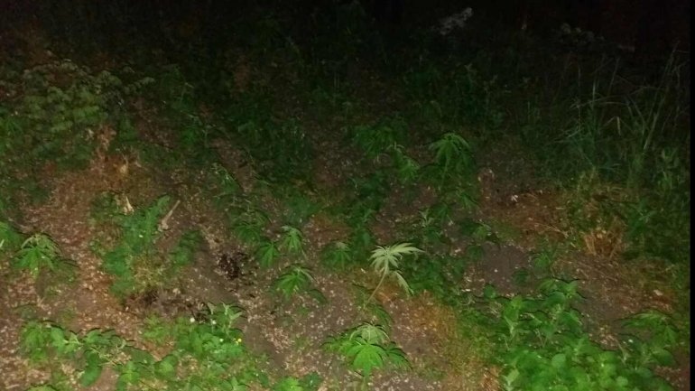 Brothers INDICTED in massive home-grown hemp operation (PHOTO)