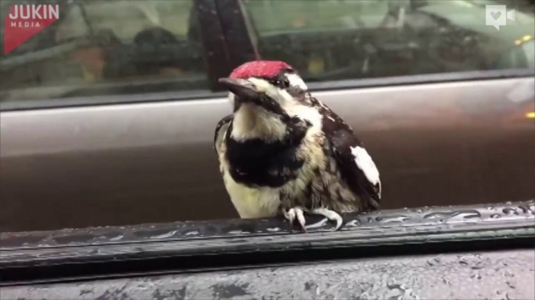 Woodpecker hitches ride through Chicago (VIDEO)