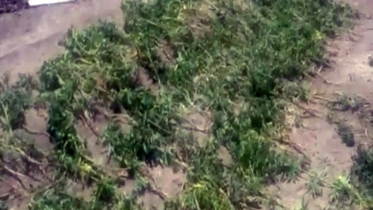 Police locate and investigate hemp plantation (VIDEO)