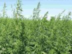 """MAC 2017"" operation. Two hectares of hemp found near Ukraine border"