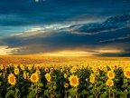 Sunflower harvest started in northern Moldova, farmers expect better income